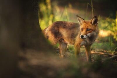 Fotomural Fox na floresta do verão