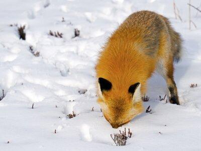 Fotomural Fox vermelho enfrenta na neve