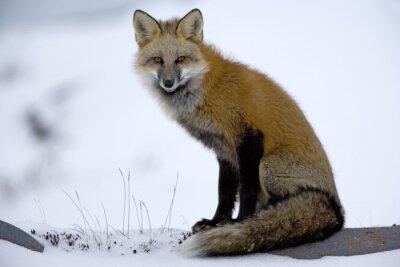 Fotomural Fox vermelho está descansando