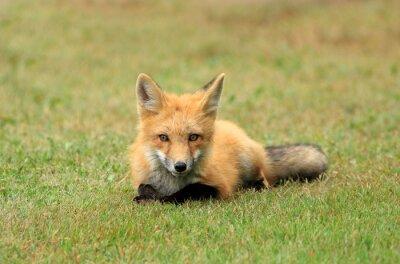 Fotomural Fox vermelho que levanta em um Prado Relva, PEI, Canadá