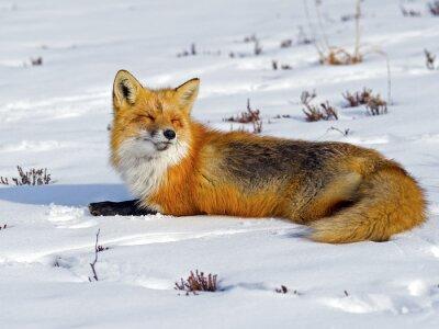 Fotomural Fox vermelho que Sunbathing na neve