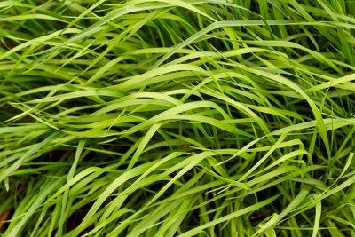 Fotomural Fundo da grama verde