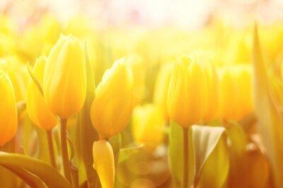 Fotomural Fundo floral brilhante com tulips amarelos e efeito da luz do sol