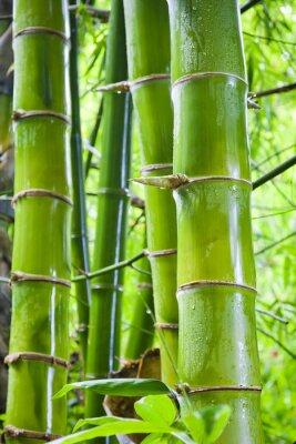 Fotomural Fundos verdes da natureza de bambu