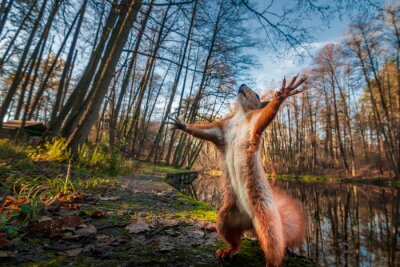 Fotomural Funny red squirrell standing in the forest like Master of the Universe.