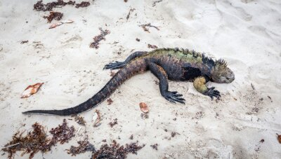 Fotomural Galápagos Iguana marinha