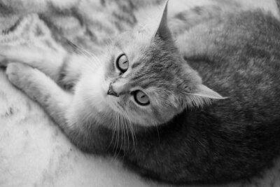 Fotomural Gato britânico - preto e branco