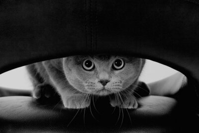 Fotomural Gato escocês engraçado com os olhos redondos grandes que olham através de um furo (em estilo preto e branco, retro)
