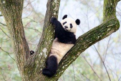 Fotomural Gigante, panda, sentando, árvore, Szechuan, China