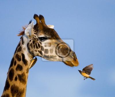 Fotomural Giraffe e okspeker