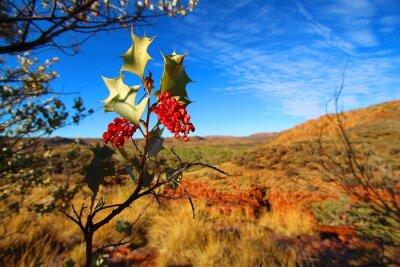 Fotomural Grevillea wickhamii em Trephina Gorge, Austrália