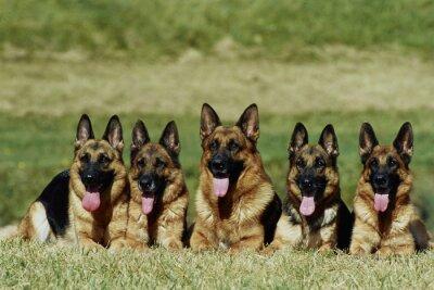 Fotomural groupe de 5 bergers allemands alongamentos de face - obéissance