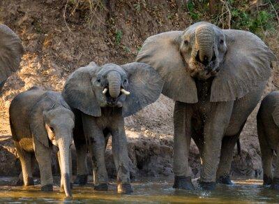 Fotomural Grupo de elefantes que estão perto da água. Zâmbia. Baixa Zambeze National Park. Rio Zambeze. Uma excelente ilustração.