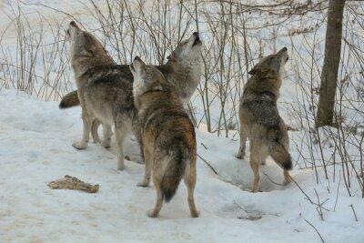 Fotomural Heulende Wölfe