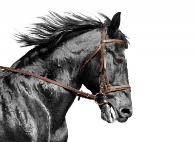 Fotomural Horse portrait in black and white in the brown bridle