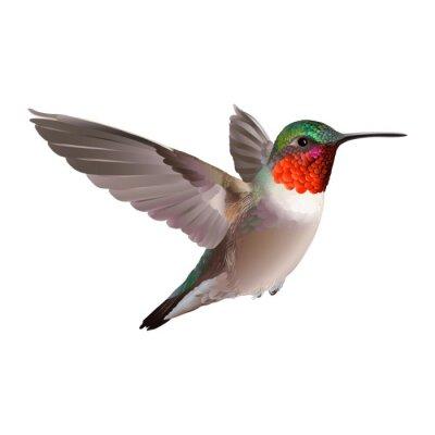 Fotomural Hummingbird - Colubris archilocus. Entregue a ilustração do vetor tirada em fundo branco de um colibri Rubi-troathed voando com plumagem brilhante colorido.