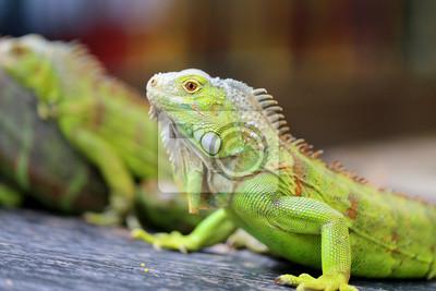 Fotomural Iguana verde lagarto