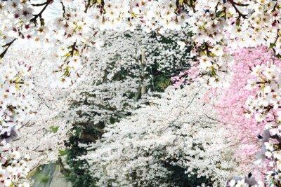 Fotomural Imagem de bela sakura seasnon em Kyoto, Japão