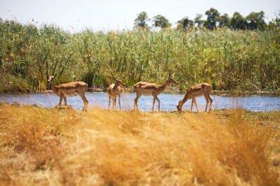 Fotomural Impala, Aepyceros, melampus, Bwabwata, nacional, parque, Namíbia