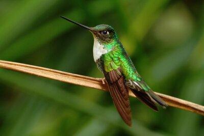 Fotomural Inca colar, Torquata Coeligena, beija-flor da floresta de Mindo, pássaro do Equador