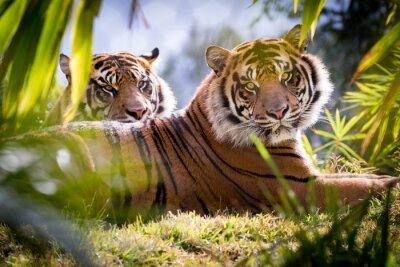 Fotomural Irmãos do tigre