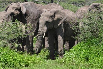 Fotomural Jovem, africano, elefante, rebanho