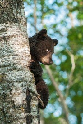 Fotomural Jovem, pretas, urso, (Ursus, americanus), lado, árvore