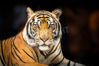 Fotomural Jovem, siberian, tigre, escuro, fundo, ação, olhar, câmera