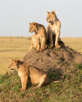 Fotomural Kenya, África, reserva de Masai Mara, leão fêmea com filhotes.