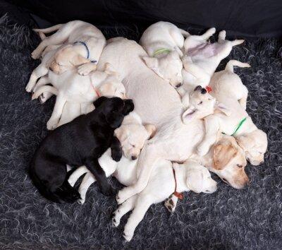 Fotomural Labrador puppys dormindo com sua mãe