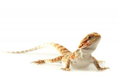 Fotomural Lagarto de estimação Dragão farpado isolado no branco, foco estreito