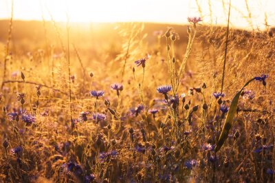 Fotomural Landscape with wildflowers in the rays of the setting sun