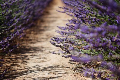 Fotomural Lavanda, flor, florescendo, campos, Provence, França