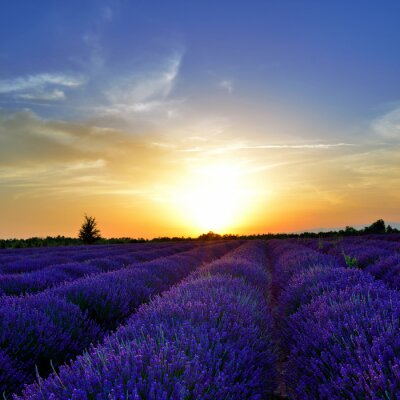 Fotomural Lavender field