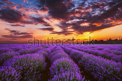 Fotomural Lavender flower blooming fields in endless rows. Sunset shot.