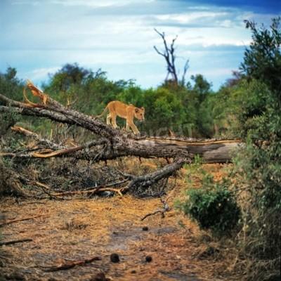 Fotomural leão