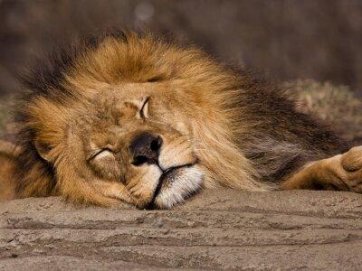 Fotomural Leão adormecido