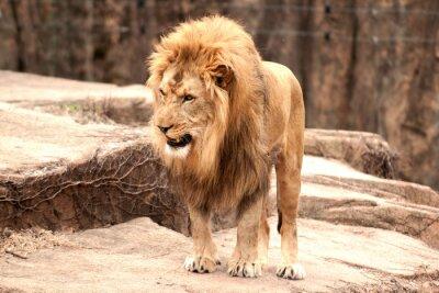 Fotomural leão africano