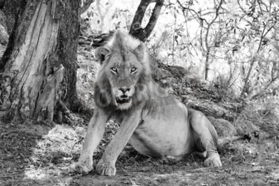 Fotomural Leão bonito