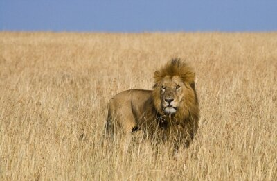 Fotomural Leão masculino grande no savanna. Parque Nacional. Quênia. Tanzânia. Maasai Mara. Serengeti. Uma excelente ilustração.