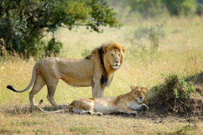 Fotomural Leão, nacional, parque, kenya, áfrica