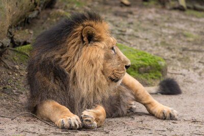 Fotomural Leão no parque