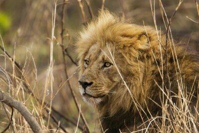 Fotomural Leão no parque nacional de Kruger
