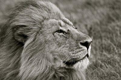 Fotomural Leão, olhar, saída, savana