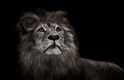 Fotomural Leão preto e branco