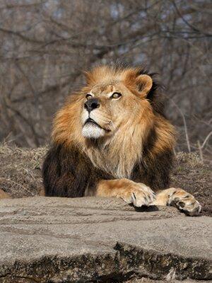 Fotomural Leão que olha no céu