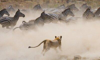 Fotomural Leoa ataque em uma zebra. Parque Nacional. Quênia. Tanzânia. Masai Mara. Serengeti. Uma excelente ilustração.