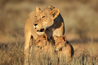 Fotomural Leoa com os filhotes de leão novos (Panthera leo) na luz do amanhecer, deserto de Kalahari, África do Sul.