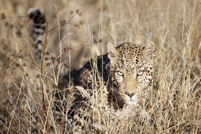Fotomural Leopardo, em movimento, através, bushveld