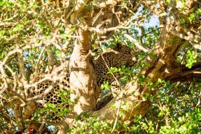 Fotomural Leopardo escondido em uma árvore